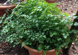 My parsley plant, growing out of control