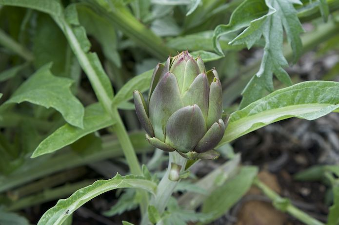 An artichoke in the vegetable garden, waiting to be harvested